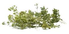 Ρίγανη σε ματσάκι - βότανα